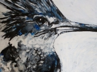 BELTED KINGFISHER 2017